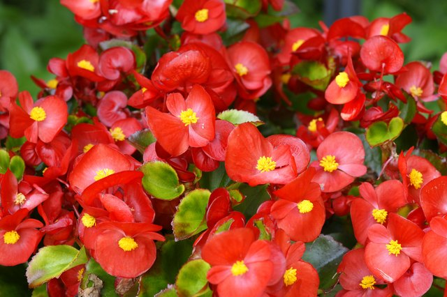 Red begonias