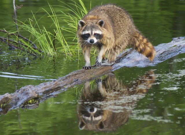 Water reflections of a raccoon on a log.