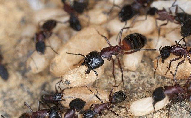 Carpenter ant, Camponotus herculeanus, rescuing egg behavior, macro photo