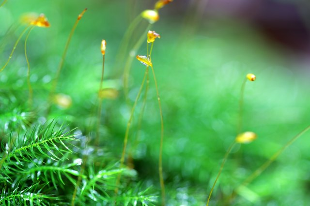 close up of sphagnum moss in rain forest background.