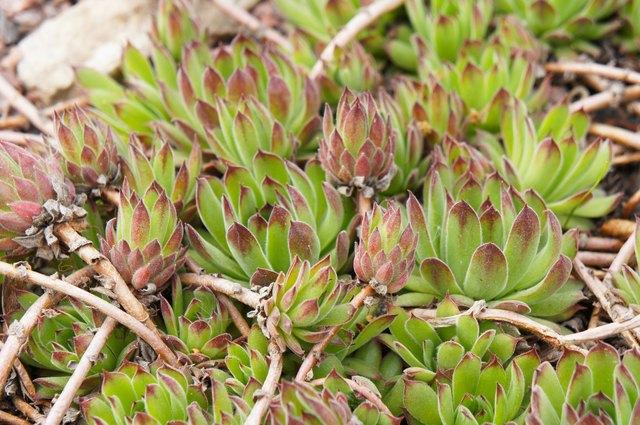 Sempervivum succulent plant on ground