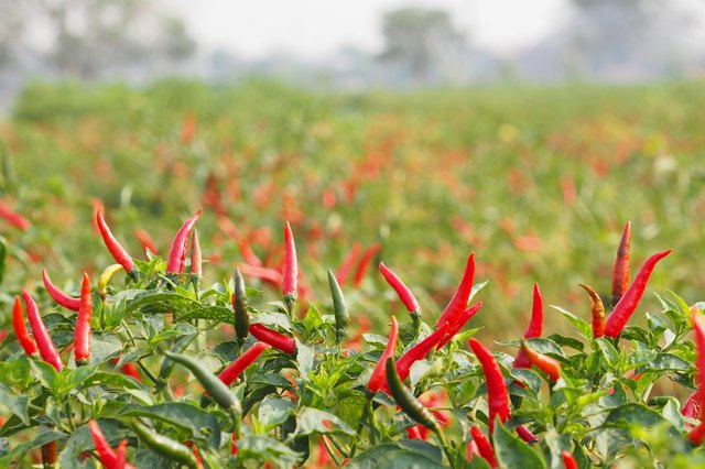 Chillies grow in farm