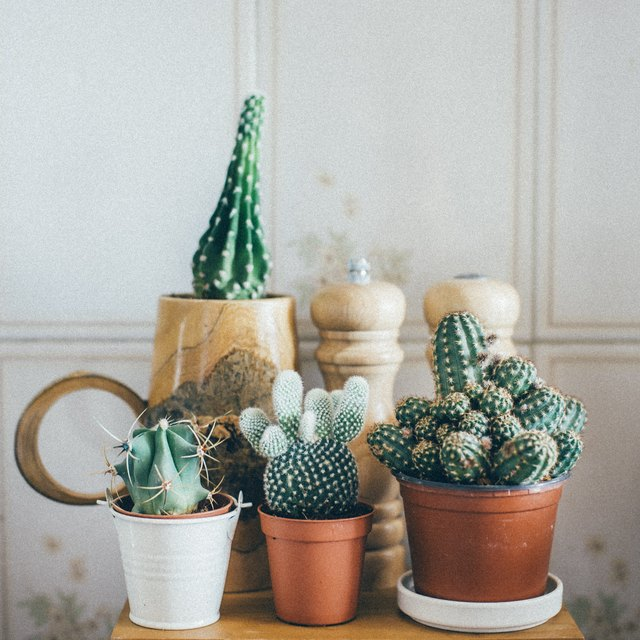 Small Cactus Plants in a Pot
