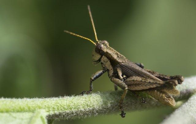 Grasshopper looking away
