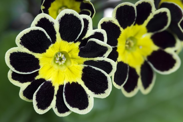 Silver and Gold-laced Primrose