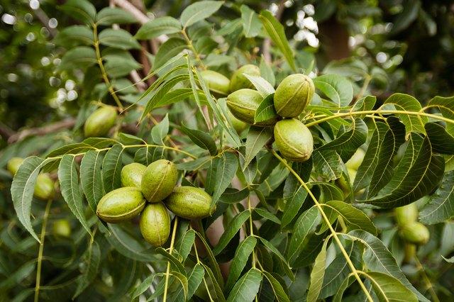 Pecan nut clusters on tree