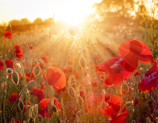 Field of sunlit red poppies at sunset