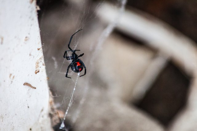 Black Widow Spider in Web