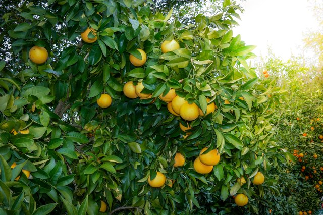 Ruby red grapefruit tree with clusters of fruit ready for harvest