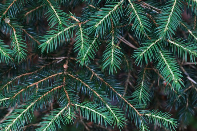 How To Identify Types Of Pine Trees Hunker