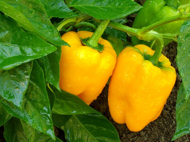 How to Grow Bell Peppers | Hunker