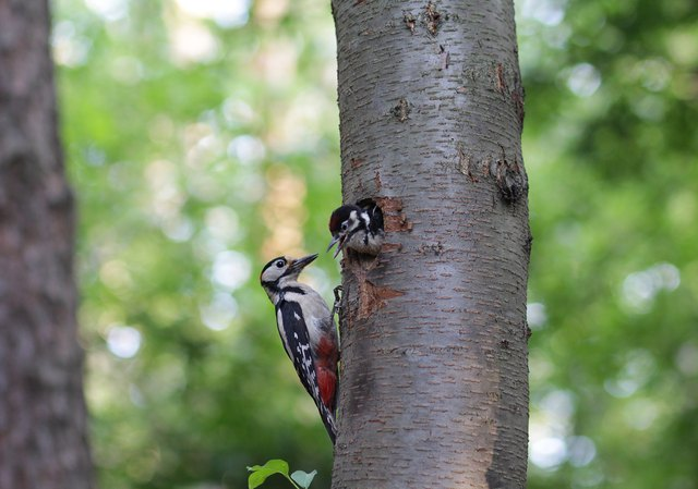 Woodpecker feeding a chick in a hollow in a tree.