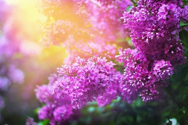 Lilac beautiful flowers