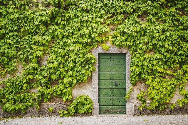 Ivy around wooden green door