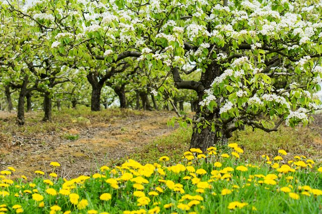 Beautiful pear orchard in blossom