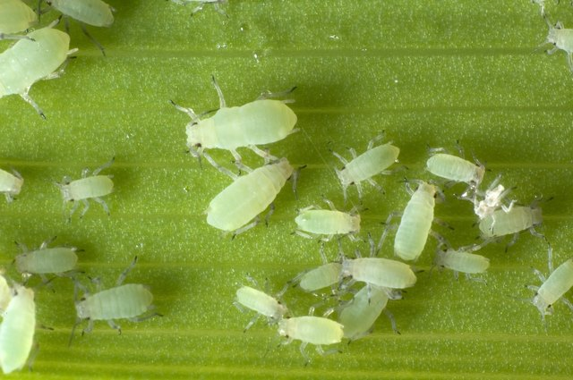 Close-up of aphids of different sizes