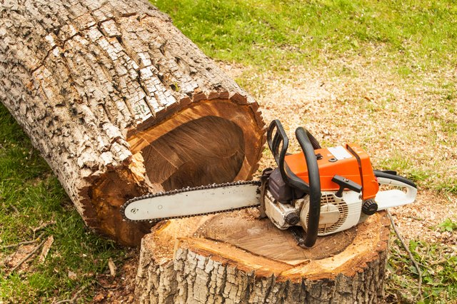 Professional chainsaw is on walnut tree. Gasoline saw
