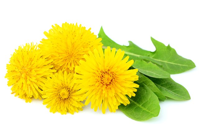 The life cycle of a dandelion hunker flowers dandelions with leaves close up isolated mightylinksfo