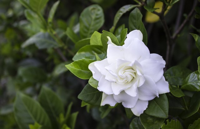 How to Treat Black Mold Fungus on a Gardenia | Hunker