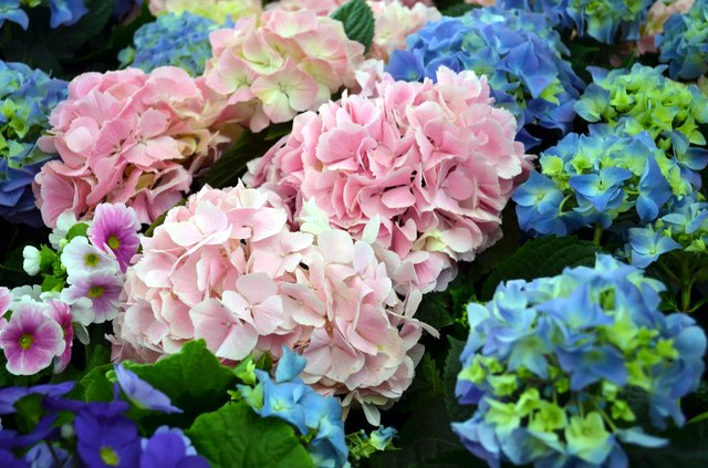 hydrangea plants in pink and blue