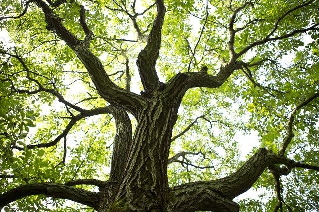 France, St. Romans, Plantation of walnut trees