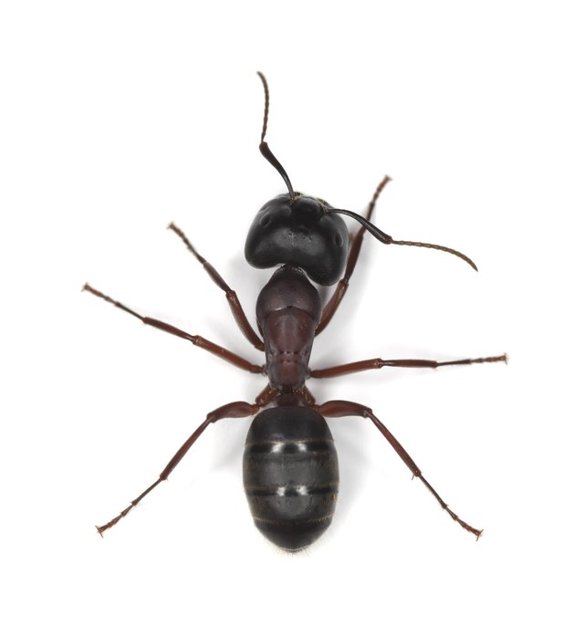 Do Ants Kill Termites?   Hunker