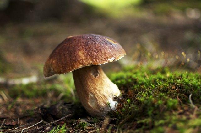 Cepe - Edible Mushroom