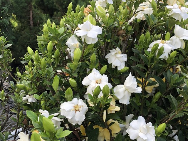 How and When to Prune Gardenias | Hunker