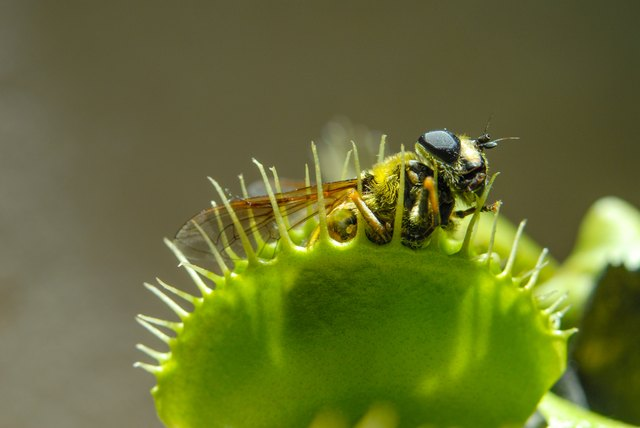 Fly eaten by carnivorous plant