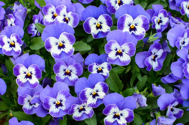 Natural floral background of purple pansy flowers