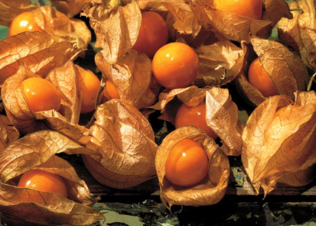 How to Harvest Chinese Lantern Seeds | Hunker