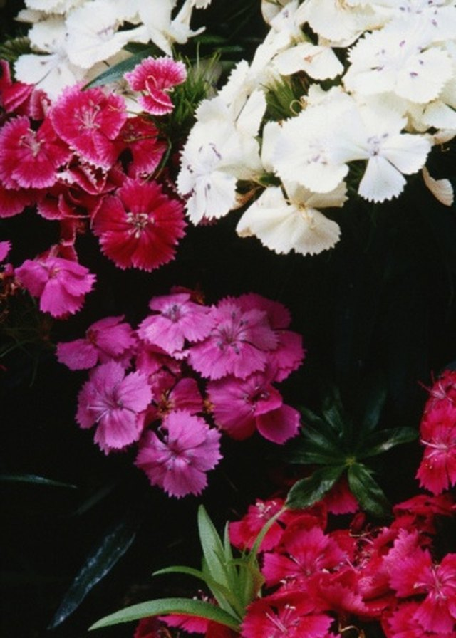 How To Care For Dianthus Plants Hunker