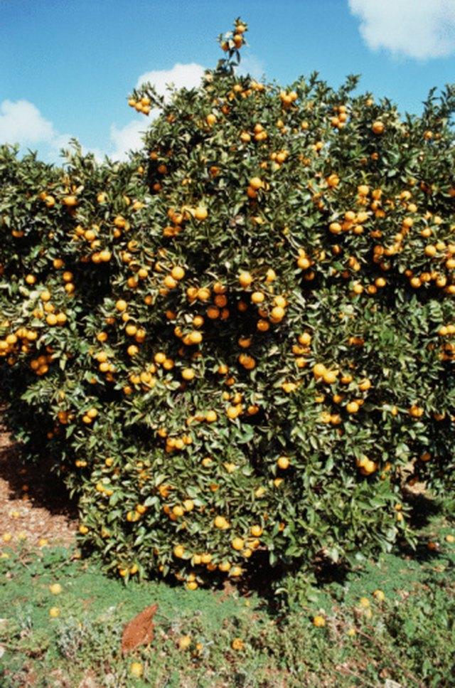 Overwatering Citrus Trees | Hunker