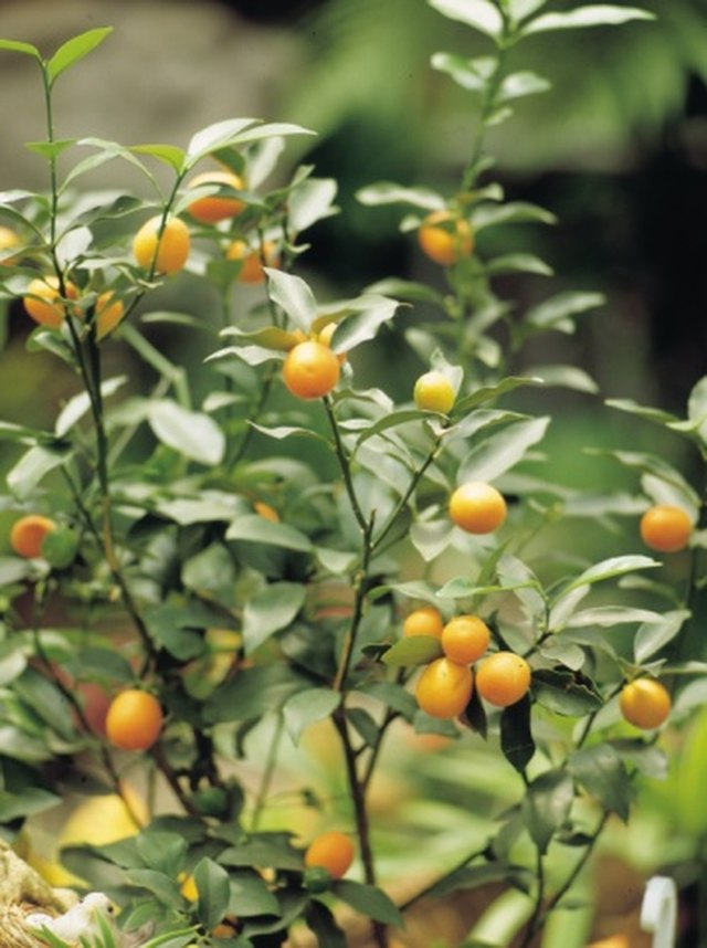 How to Bonsai an Orange Tree | Hunker