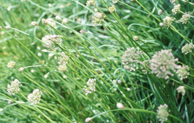How to Kill Chive Plants | Hunker