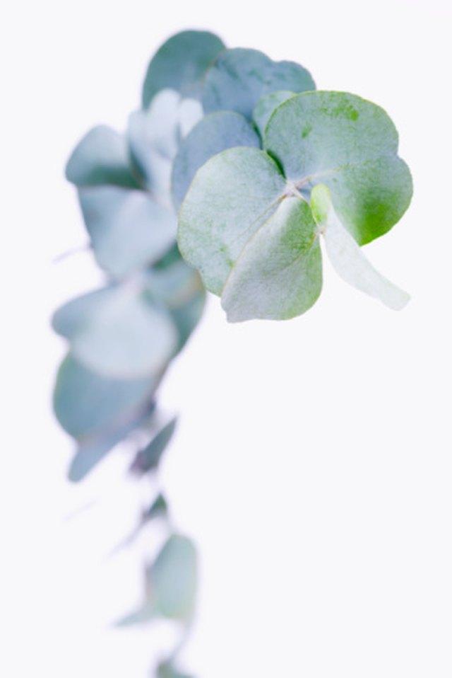 How to Grow Eucalyptus Trees in Florida | Hunker
