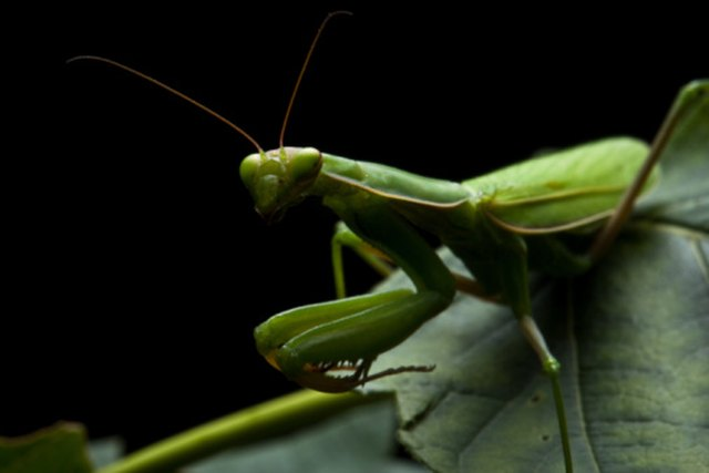 How to Get Rid of a Praying Mantis | Hunker