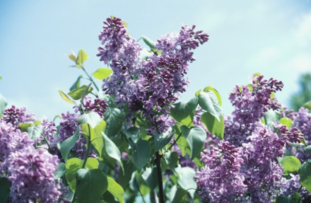 What Is the Fastest Growing Lilac Bush? | Hunker