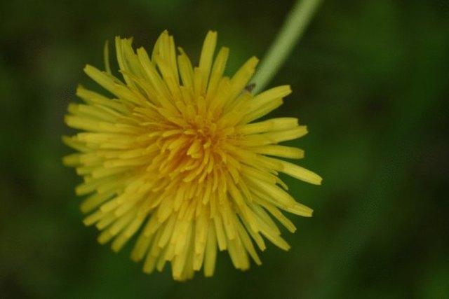 Characteristics of a Dandelion | Hunker