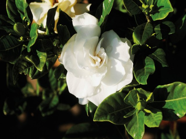 The Best Location to Plant a Gardenia Bush | Hunker