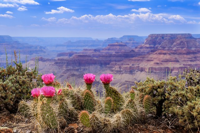 Prickly Pear Cactus Blooms on the Grand Canyon Rim.