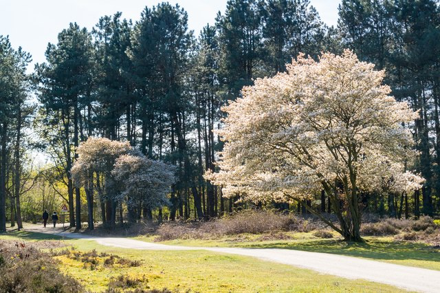 Serviceberry tree in bloom and path, heath, Netherlands
