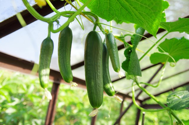 Cucumbers in greenhouse. Growing cucumbers.