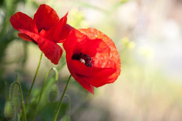 The difference between oriental poppies opium poppies hunker red poppies mightylinksfo