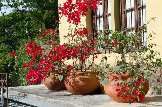 Flowering Bougainvillea in terracota pots