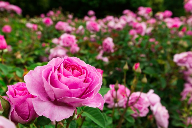 How to Grow Roses   Hunker