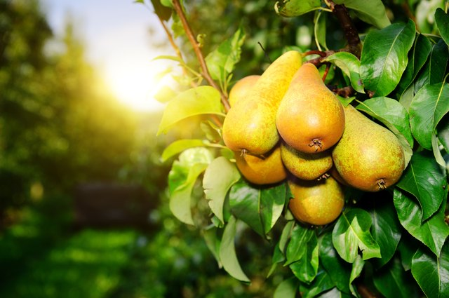 Organic pears on a tree branch in the sun