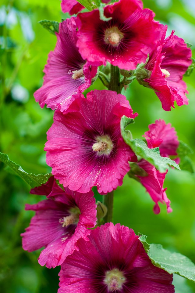 How and When to Prune Hibiscus | Hunker