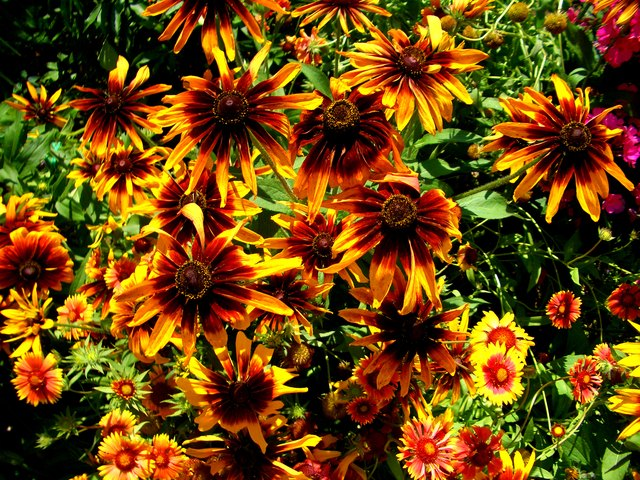 Flowerbed of Black-Eyed Susans