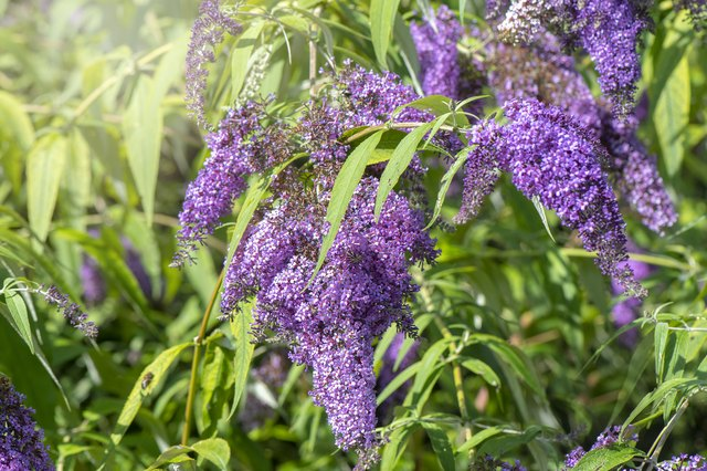 How to Grow Butterfly Bush | Hunker